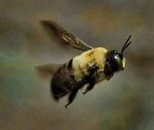 These Carpenter Bees Were Not Normal Strange Story Of A